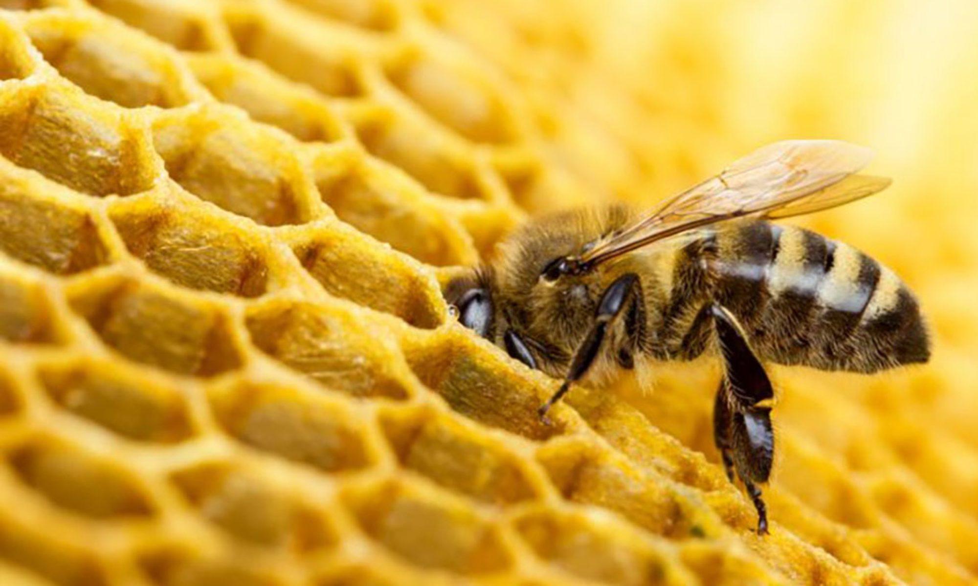 SMART-BEE | BEE VENOM COLLECTOR