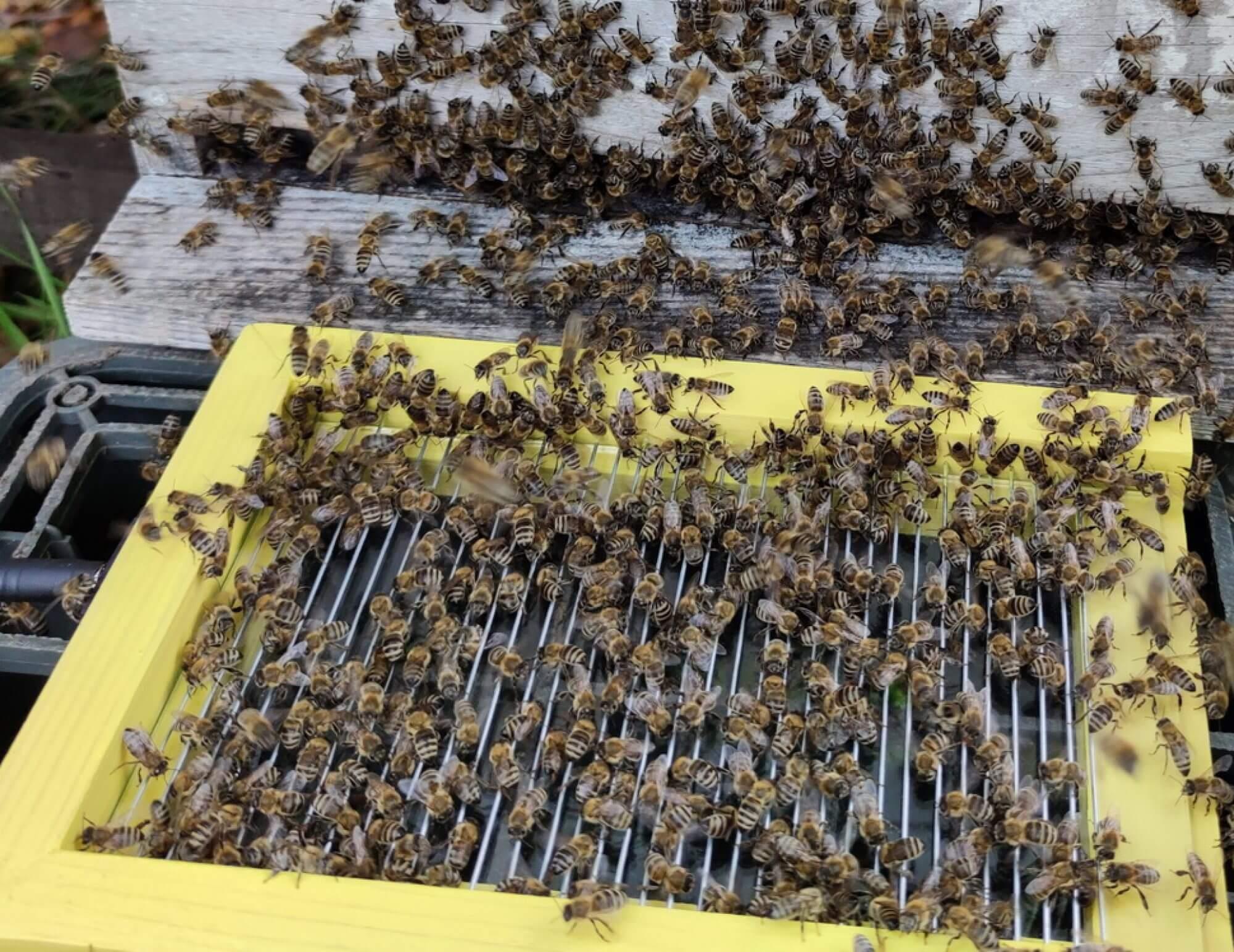 bee venom collector